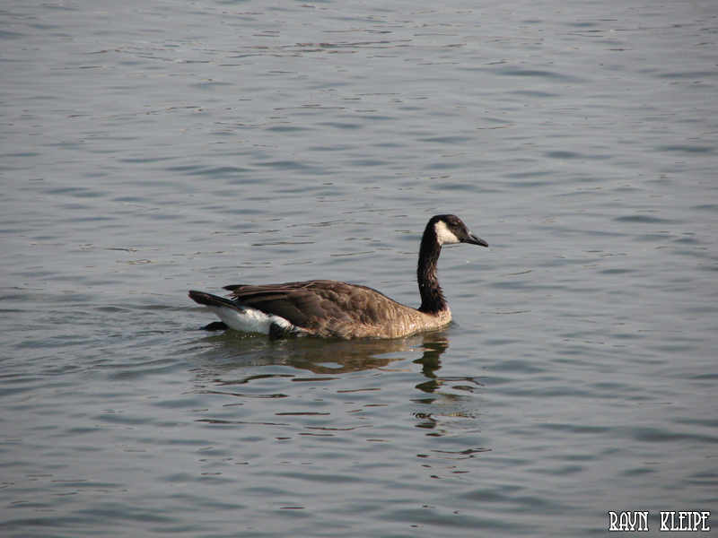 A Canadian goose swimming in the Hudson River.