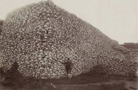 """Man Poses with Tens of Thousands of Bison Skulls: This photo from the 1870's shows a man proudly standing in front of a mountain of tens of thousands of bison skulls —an iconic American species that was systematically slaughtered by the millions as European Americans settled the west. The U.S. Army actively endorsed the wholesale slaughter of these animals for two main reasons: to remove any competition with cattle, and to starve Native American tribes who greatly depended on the bison for food. Without the bison, the resisting tribes of the Great Plains would either be forced to leave or die of starvation."""