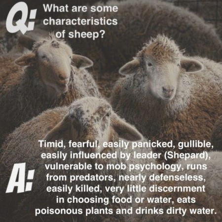 """Q: What are some characteristics of sheep? A: Timid, fearful, easily panicked, gullible, easily influenced by leader (Shepard), vulnerable to mob psychology, runs from predators, nearly defenseless, easily killed, very little discernment, eats poisonous plants and drinks dirty water."""