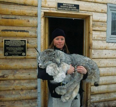 A lynx, about to be released back into the wild