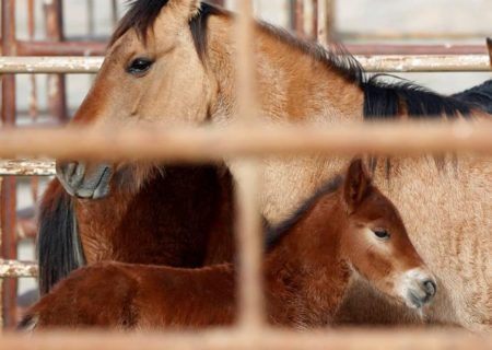 Wild horses corralled by Bureau of Land Management (BLM) from along Highway 21